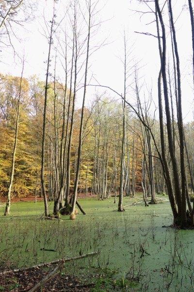 Bruchwald mit Schwarz-Erle