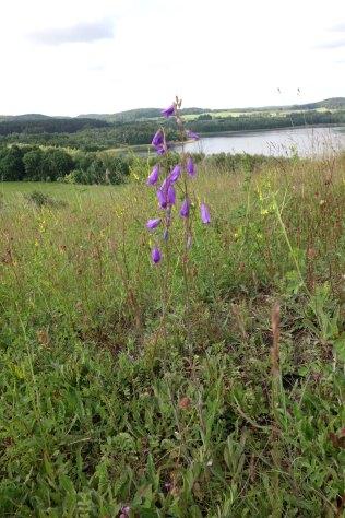Die Steppen-Glockenblume (Campanula sibirica) stößt in der Uckermark an ihre westliche Verbreitungsgrenze