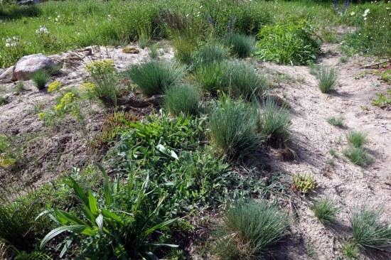 Pionier-Sandtrockenrasen im Mai 2015 mit bestandsbildendem SIlbergras