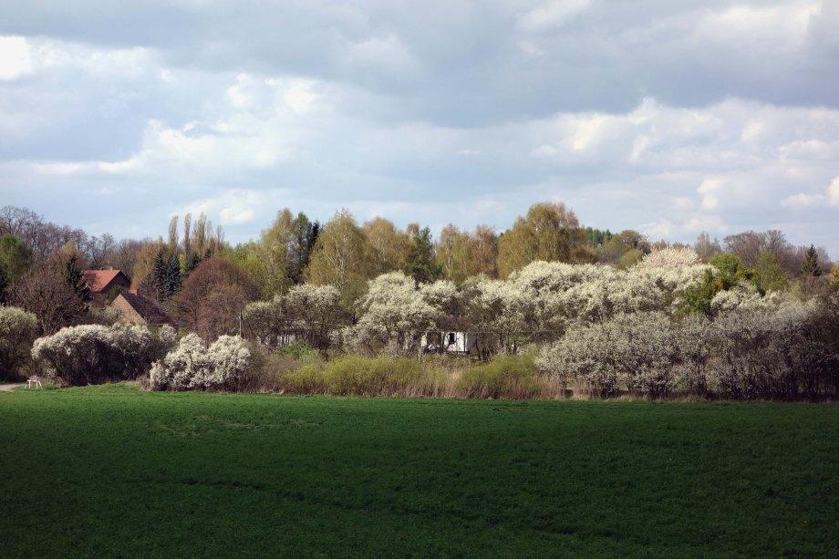 Prunus domestica WordPress