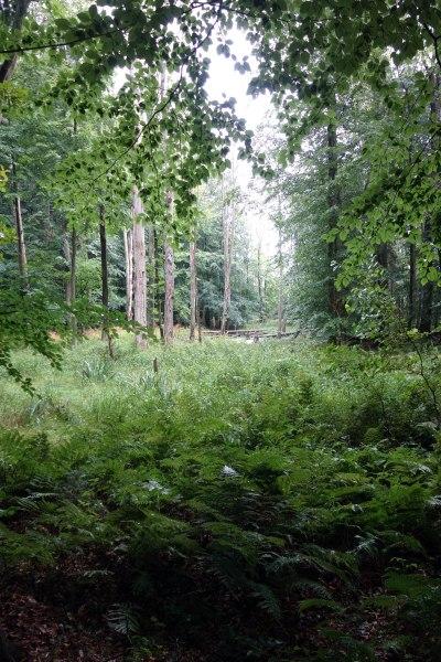 Buchenwald. Im Vordergrund Wurmfarn und Sumpf-Schwertlilie auf der nassen Lichtung