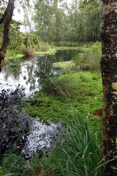 Hochmoor - und ganz vorne das gartenbekannte Rohr-Pfeifengras mal am Naturstandort