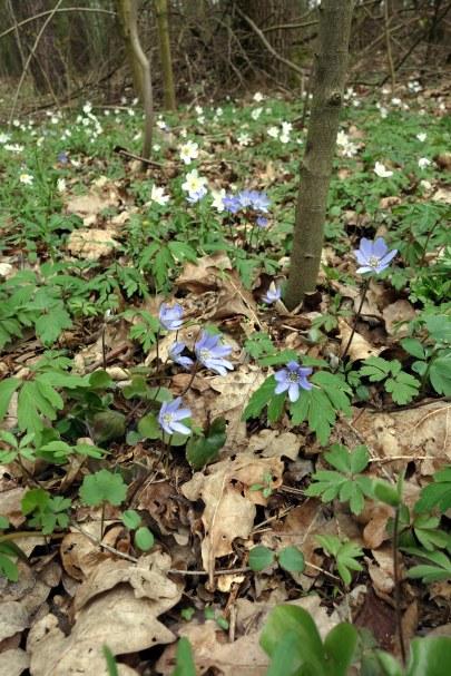 Das weit verbreitete Buschwindröschen (Anemone nemorosa) und das spezialisiertere Leberblümchen (Hepatica nobilis)